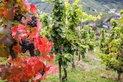 Mayschoss vingårdar i Tyskland Arkivbild