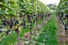 Mayschoss vingårdar i Tyskland Royaltyfria Foton