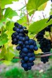 Mayschoss vingårdar i Tyskland Fotografering för Bildbyråer