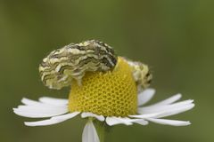 Mayweed caterpiller feeding on weed stock photo