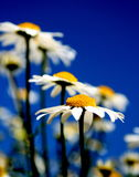 Mayweed fields forever Royalty Free Stock Images