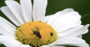 A mayweed flower with a fly and some pests 4K FS700 Odyssey 7Q Royalty Free Stock Photography