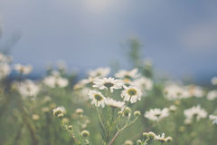 Mayweed Royalty Free Stock Images