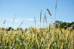 Mayweedblumen auf einem Maisgebiet Lizenzfreie Stockbilder