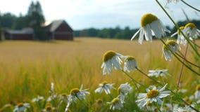 Mayweeden blommar i fältet stock video