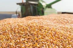 Maíz del grano Imagen de archivo