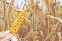 Maíz en la mazorca maduro del maíz Imágenes de archivo libres de regalías