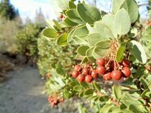 Mazanita, Arctostaphylos pringlei, in the late Fall Afternoon 1 stock photography