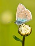 Mazarine Błękitny motyl na kwiacie Zdjęcia Stock
