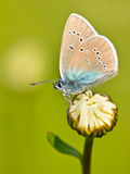 Mazarine Blue Butterfly on a flower Stock Photos