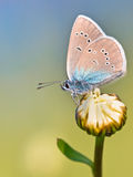 Mazarine Blue Butterfly on a flower Stock Images