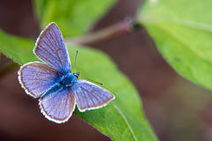 Mazarine Blue (Polyommatus semiargus) Royalty Free Stock Photography