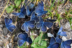 Mazarine butterflies on manure Royalty Free Stock Photography