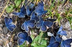 Mazarine fjärilar på gödsel Royaltyfri Fotografi