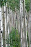 Maze of Aspens Stock Photos