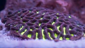 Maze Brain Coral de olhos verdes de néon Imagem de Stock Royalty Free
