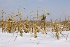 Maze and corn crop in field winter Stock Photos