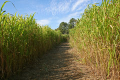 Maze in a corn field Royalty Free Stock Photography