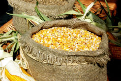 Maze corn in sack. Composition Royalty Free Stock Photos