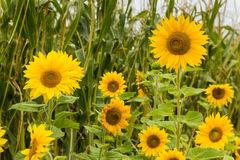 Maze Sunflower Stock Image