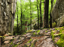 Mazing interlacing of the roots of large trees. Stock Photo