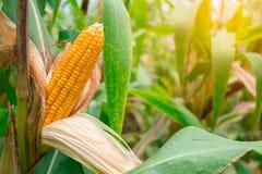 Mazorca amarilla madura dos del maíz dulce en el campo Recoja la cosecha del maíz fotos de archivo
