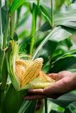 Mazorca amarilla madura dos del maíz dulce en el campo Recoja la cosecha del maíz imagen de archivo libre de regalías