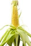 Mazorca de maíz Foto de archivo libre de regalías