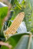 Mazorca de maíz al borde de un campo agrícola en Alemania Imagen de archivo