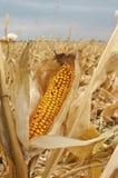 Mazorca de maíz amarilla Fotos de archivo libres de regalías