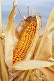 Mazorca de maíz amarilla Imagen de archivo libre de regalías