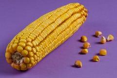 Mazorca de maíz amarilla brillante con los granos de oro en un fondo púrpura foto de archivo libre de regalías