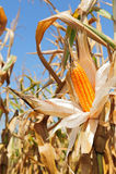 Mazorca de maíz - amarilla y madura Fotos de archivo libres de regalías