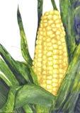 Mazorca de maíz con la hoja Imágenes de archivo libres de regalías