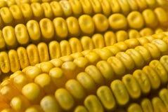 Mazorca de maíz del maíz Foto de archivo