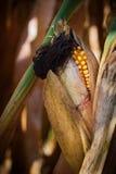 Mazorca de maíz en campo del maíz de sequía en otoño Imagenes de archivo