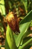 Mazorca de maíz en el jardín Fotografía de archivo