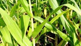 Mazorca de maíz en un campo en Alemania almacen de metraje de vídeo