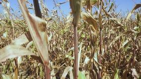 Mazorca del maíz maduro en un tallo metrajes