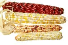 Mazorcas aisladas del maíz indio Foto de archivo libre de regalías