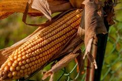 Mazorcas de maíz imagen de archivo