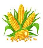 Mazorcas de maíz aisladas ilustración del vector