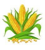 Mazorcas de maíz aisladas stock de ilustración