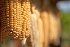 Mazorcas de maíz de sequía imágenes de archivo libres de regalías