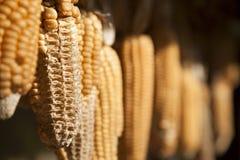 Mazorcas de maíz de sequía imagenes de archivo