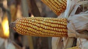 Mazorcas de maíz del oro en la granja metrajes