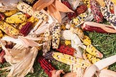 Mazorcas de maíz de diversos colores que se secan en el sol fotos de archivo
