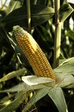 mazorcas de maíz en el campo Imagenes de archivo