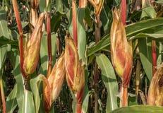 Mazorcas de maíz en un campo Fotografía de archivo
