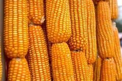 Mazorcas de maíz, escogidas recientemente Foto de archivo